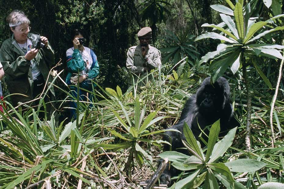Croiser des gorilles