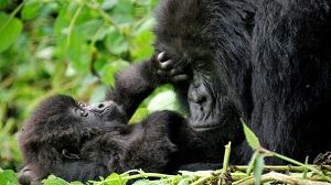 TOURISM : Rwanda Places a High Value on its Mountain Gorillas