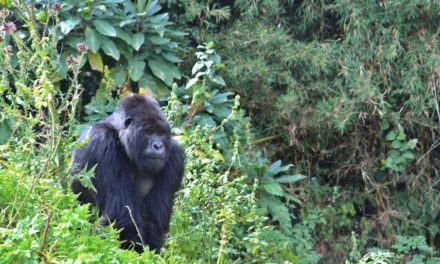 Entre gorilles et safaris, le Rwanda mise sur le tourisme haut de gamme