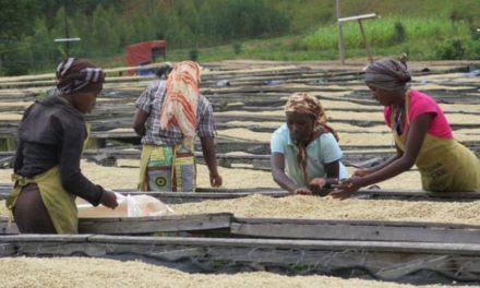 Le café Rwandais sera présenté à l'exposition « World of Coffee » à Amsterdam.