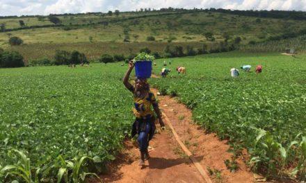 Au Rwanda, une « révolution verte » à marche forcée